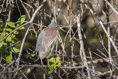 Green heron on a tree branch royalty free stock photography