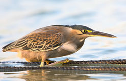 Green heron  Unusual perspective photo. Green heron Butorides virescens in the hunter`s pose. Soft evening light. Unusual perspective photo Royalty Free Stock Photo
