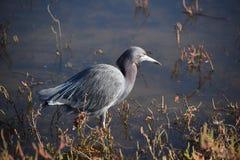 Green Heron Wading Stock Photos
