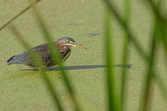 Green heron in water covered with green seeds behind tall green grasses / reeds - the Minnesota River floodplain in the Minnesota. Valley National Wildlife royalty free stock image