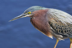 Green Heron by Water Stock Photography