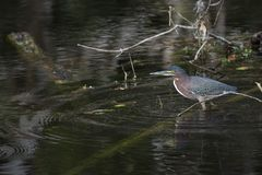 Green heron in the water royalty free stock images