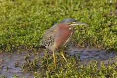 Green Heron in a Wetland Marsh. Near Port Aransas, texas Royalty Free Stock Photos