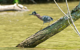 Green heron in the wind. A green heron walking on a tree limb Royalty Free Stock Photos