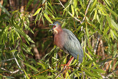 Green Heron (Butorides virescens) Stock Images
