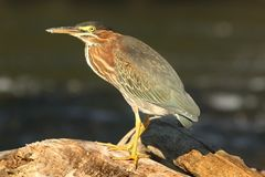 Green Heron (Butorides virescens) Stock Photos