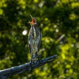 Green Heron, `Yawning` Stock Photography
