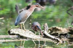 Green Herons in a Local Pond. Green Herons perched on a log in a local pond Stock Image