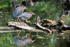 Green Herons in a Local Pond. Green Herons perched on a log in a local pond Stock Photography