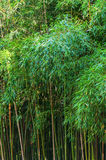 Green high bamboo. Wall of dense thickets of green high bamboo Royalty Free Stock Photography