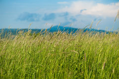 Green high grass. On meadow under blue sky Stock Photography