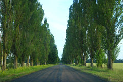 Green high poplars on the sides of the asphalted road Royalty Free Stock Photo