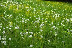 Green hill with dandelions. Natural green background. royalty free stock photo