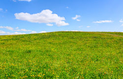 Green hill full of yellow dandelions Royalty Free Stock Photo