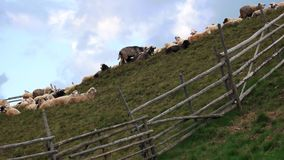 Green hill with herd of sheeps under blue sky. Flock of sheeps on the mountains meadow stock footage