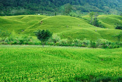 Green hills. When flowers are not yet flowering, is a green grassland Stock Photography