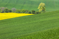 Green hills and alone tree with yellow field Royalty Free Stock Photography
