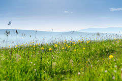Green hills and meadow, wild flowers in mountains Royalty Free Stock Photo