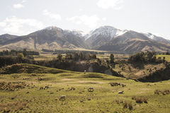 Green hills and mountains with sheeps, New Zealand Royalty Free Stock Image