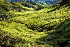 Green Hills of Tea Planation - Cameron Highlands, Malaysia Stock Image