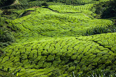 Green Hills of Tea Planation - Cameron Highlands, Malaysia Royalty Free Stock Images