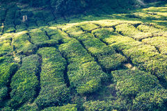 Green Hills of Tea Planation - Cameron Highlands, Malaysia Royalty Free Stock Image