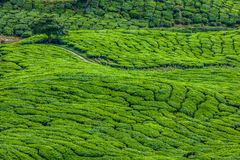 Green Hills of Tea Planation - Cameron Highlands, Malaysia Stock Photography