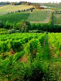 Green hills of wine, Sangiovese stock images