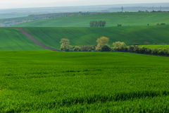 Green hills with young wheat Stock Photography