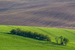 Green hills with young wheat Royalty Free Stock Image