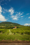 Green hillside and grape vines. Stock Photography