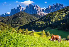 On the green hillside grazing cow. On the grass hillside grazing cow. Sunny day in Dolomites. Forested mountains surrounded by green Alpine meadows. The concept Stock Photos
