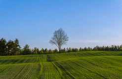 Green hilly field with lonely tree on horizon and blue sky. 