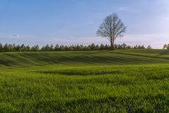 Green hilly field with lonely tree on horizon and blue sky Royalty Free Stock Images
