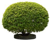 Green Holly Stock Photo