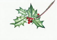 Green holly branch Royalty Free Stock Photo