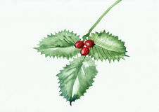 Green holly branch Stock Image