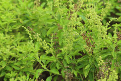 Green holy basil with flower and seed Royalty Free Stock Photos