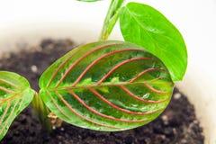 Green home flower. Maranta Stock Image