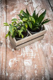Green home garden plants in wooden box Royalty Free Stock Photo