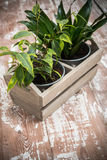 Green home garden plants in wooden box Royalty Free Stock Images