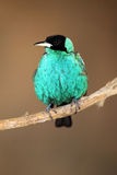 Green Honeycreeper. Closeup of a Green Honeycreeper perching on a branch Stock Images