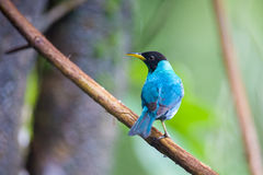 Green Honeycreeper (Chlorophanes spiza) Royalty Free Stock Photography