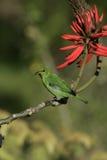 Green honeycreeper, Chlorophanes spiza, Royalty Free Stock Photos