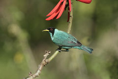 Green honeycreeper, Chlorophanes spiza, Royalty Free Stock Images
