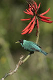 Green honeycreeper, Chlorophanes spiza, Stock Photos