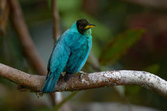 Green Honeycreeper in Costa Rica Stock Photos