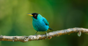 Green Honeycreeper, Male Stock Photos