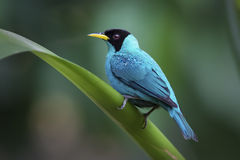 Green Honeycreeper Stock Photos