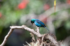 Green honeycreeper scientifically known as Chlorophanes spiza Royalty Free Stock Photography